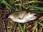 Fotografie ryb - Jelec tloušť