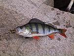 Fotografie ryb - Okoun říční